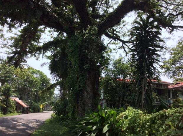 Silay Acacia Tree Cinco de Noviembre